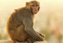 452974-monkey