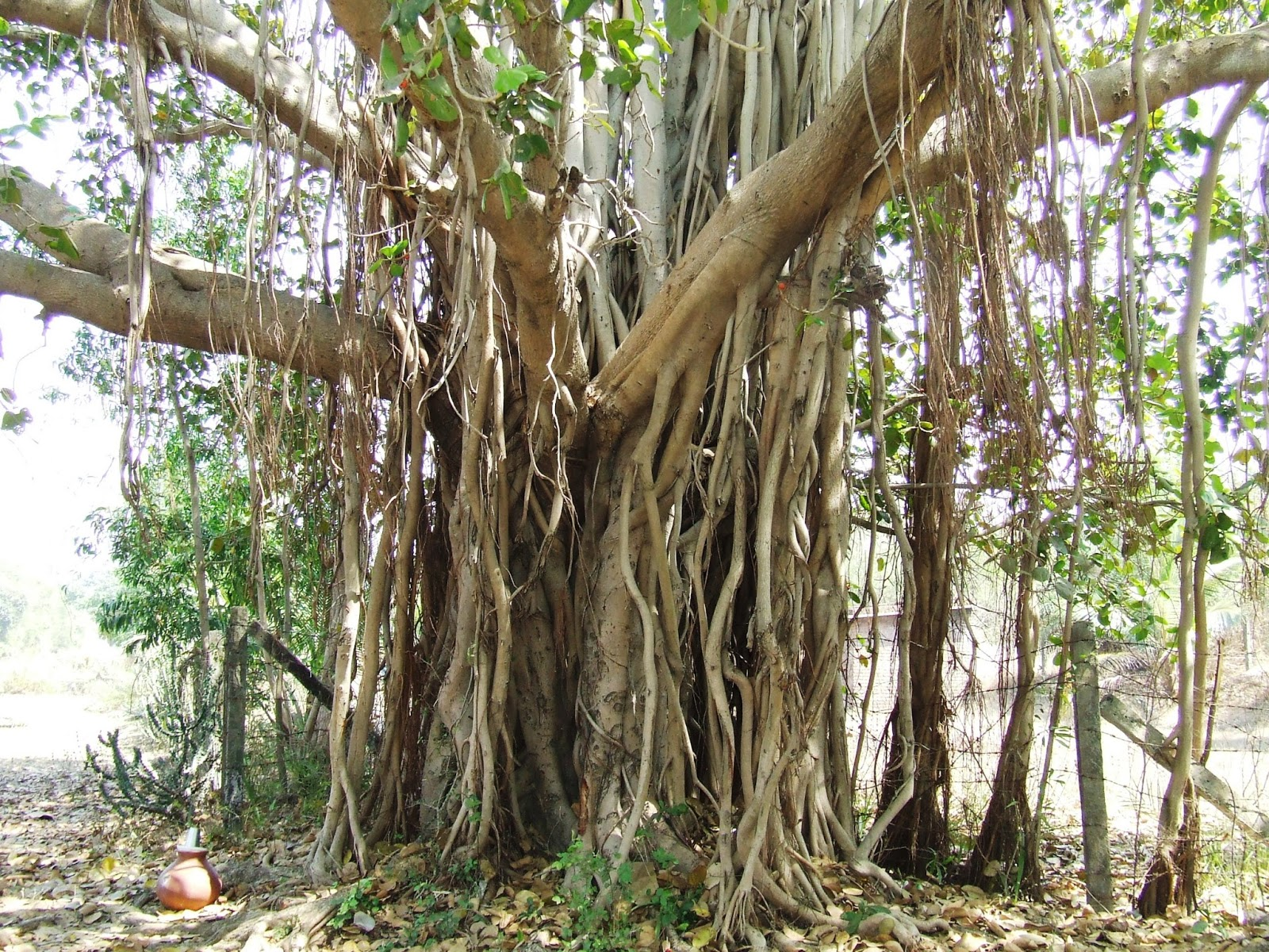 banyan tree medicinal values