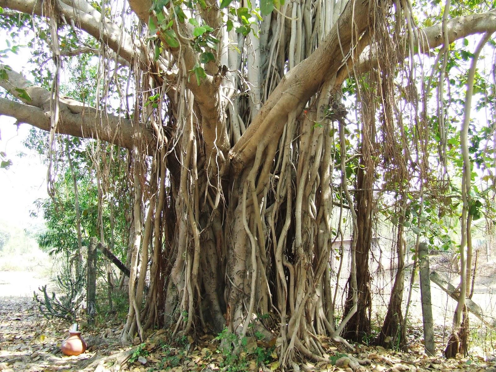 banyan tree medicinal values